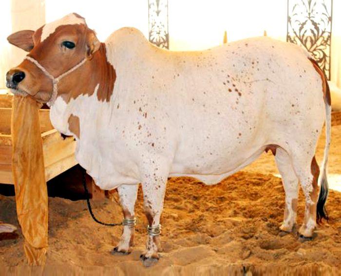 Tohfay com - (Donation of Complete Cow) For Qurbani