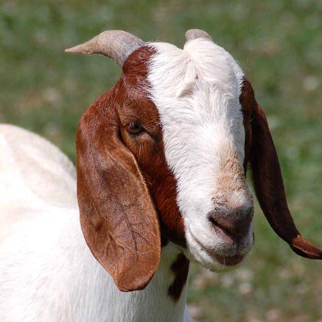 Aqiqa for Boy (02 Goats)