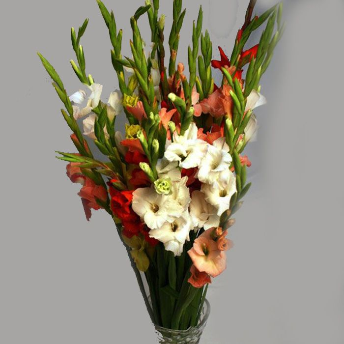 Beautiful Gladiolus (24 Stems)