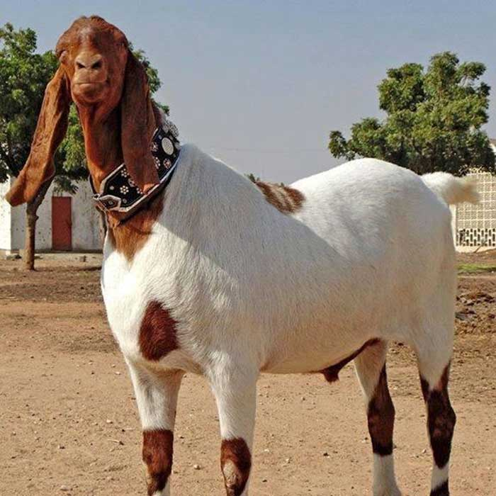 Tohfay com - Live Goat For Home Delivery By Weight