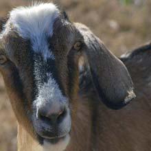 Goat For Sadqa